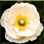 DIY paper flower kit - iceland poppy