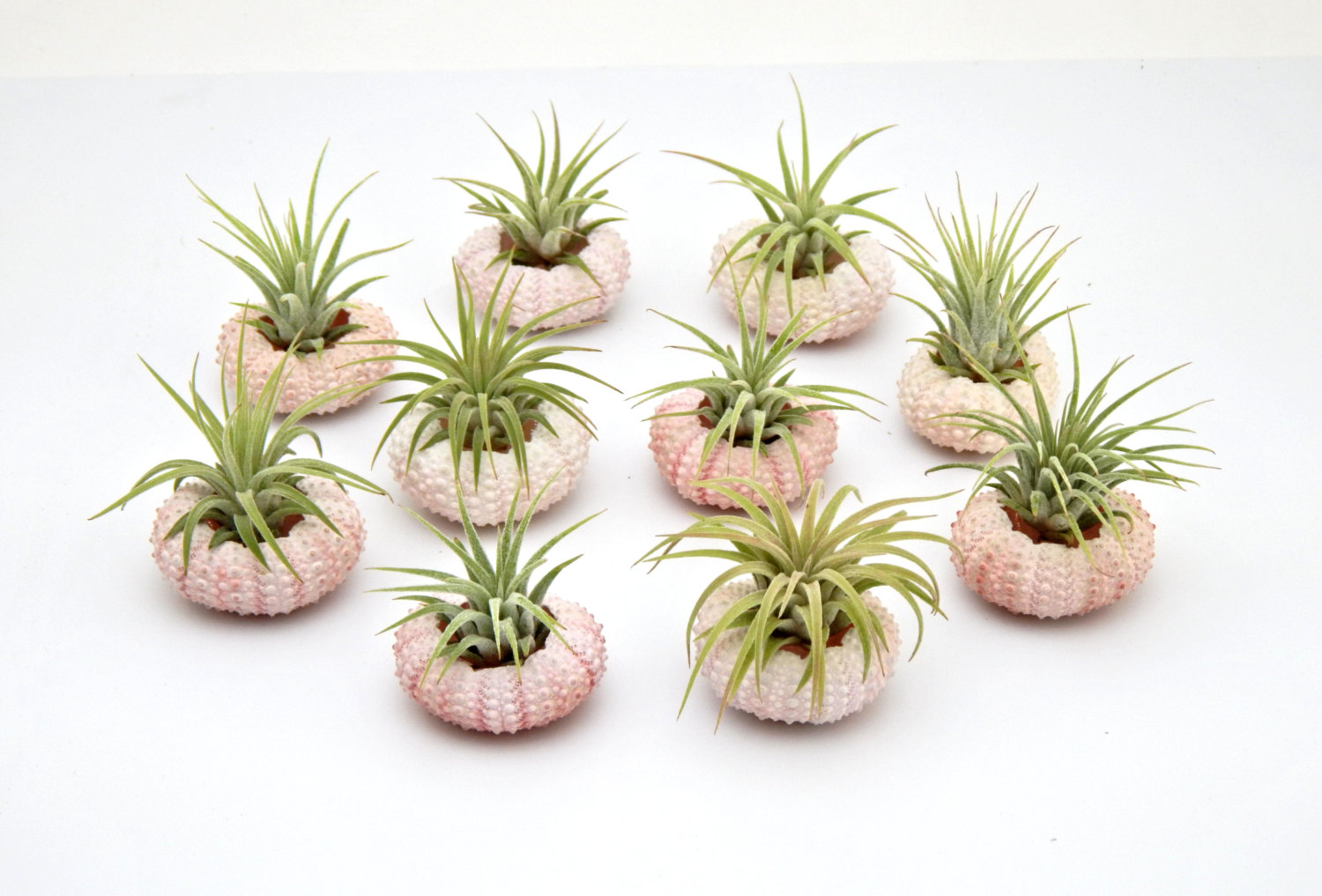 air plant favors in urchins